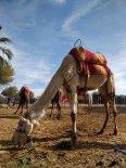 ballade a dos de chameau palmerais marrakech